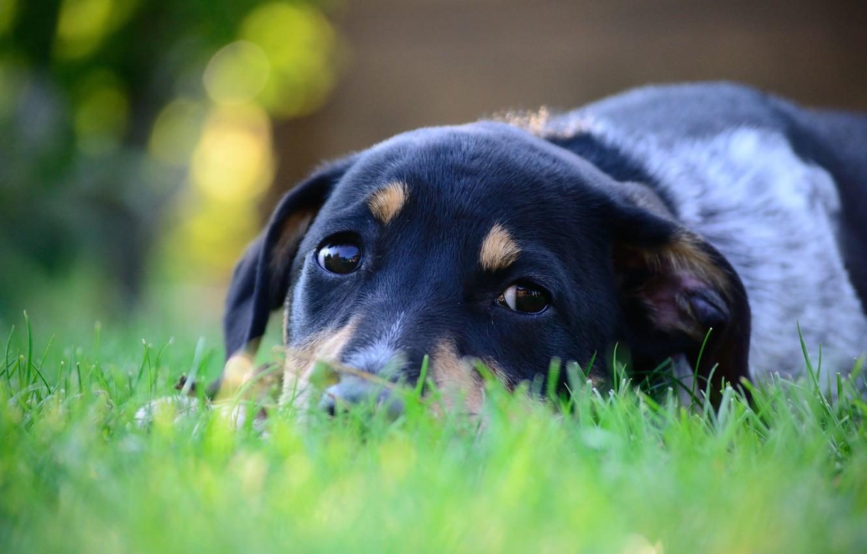 Photo wallpaper grass, eyes, look, face, macro, animal, dog, lies, ears, green