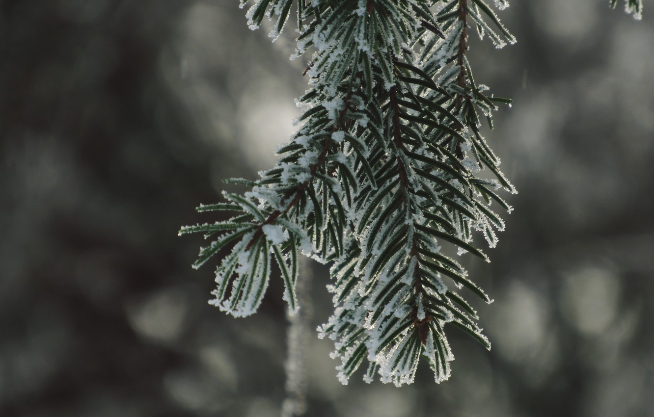 Photo wallpaper winter, snow, spruce