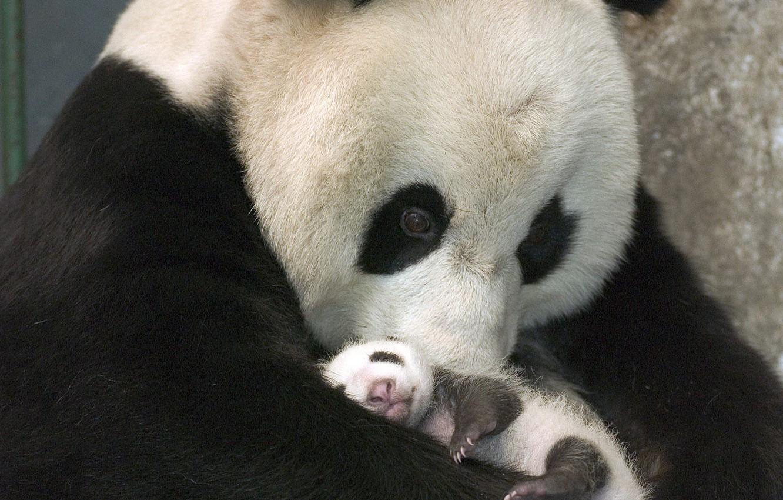 Photo wallpaper Bear, Panda, Black and white