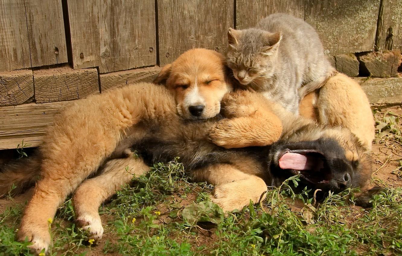 Photo wallpaper cat, dogs, cat, friendship, puppy, friends, Trinity