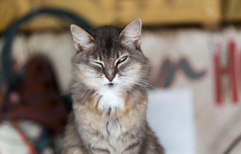 Photo wallpaper cat, look, background, Koshak
