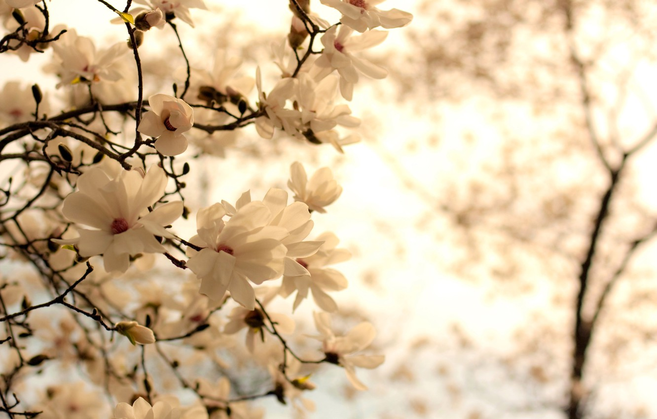 Photo wallpaper white, flowers, branches, nature, background, branch, spring, flowering, Magnolia