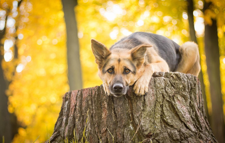 Photo wallpaper look, stump, dog, shepherd, German shepherd