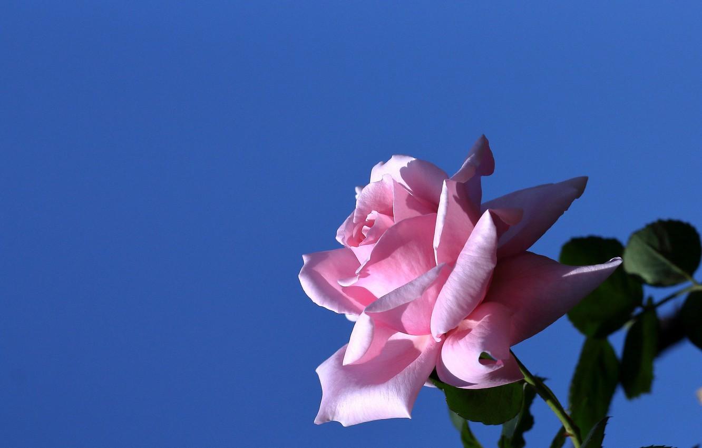 Photo wallpaper background, rose, Bud
