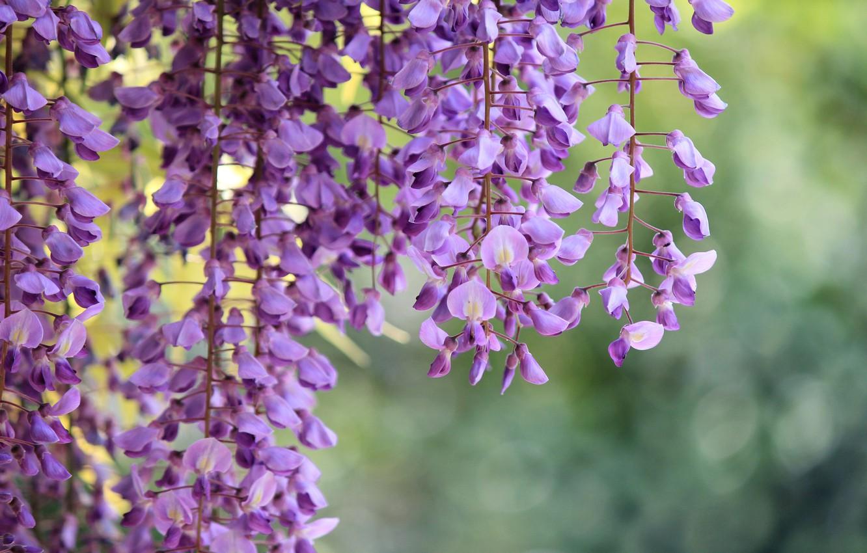Photo wallpaper macro, flowers, branches, lilac, Wisteria, Wisteria