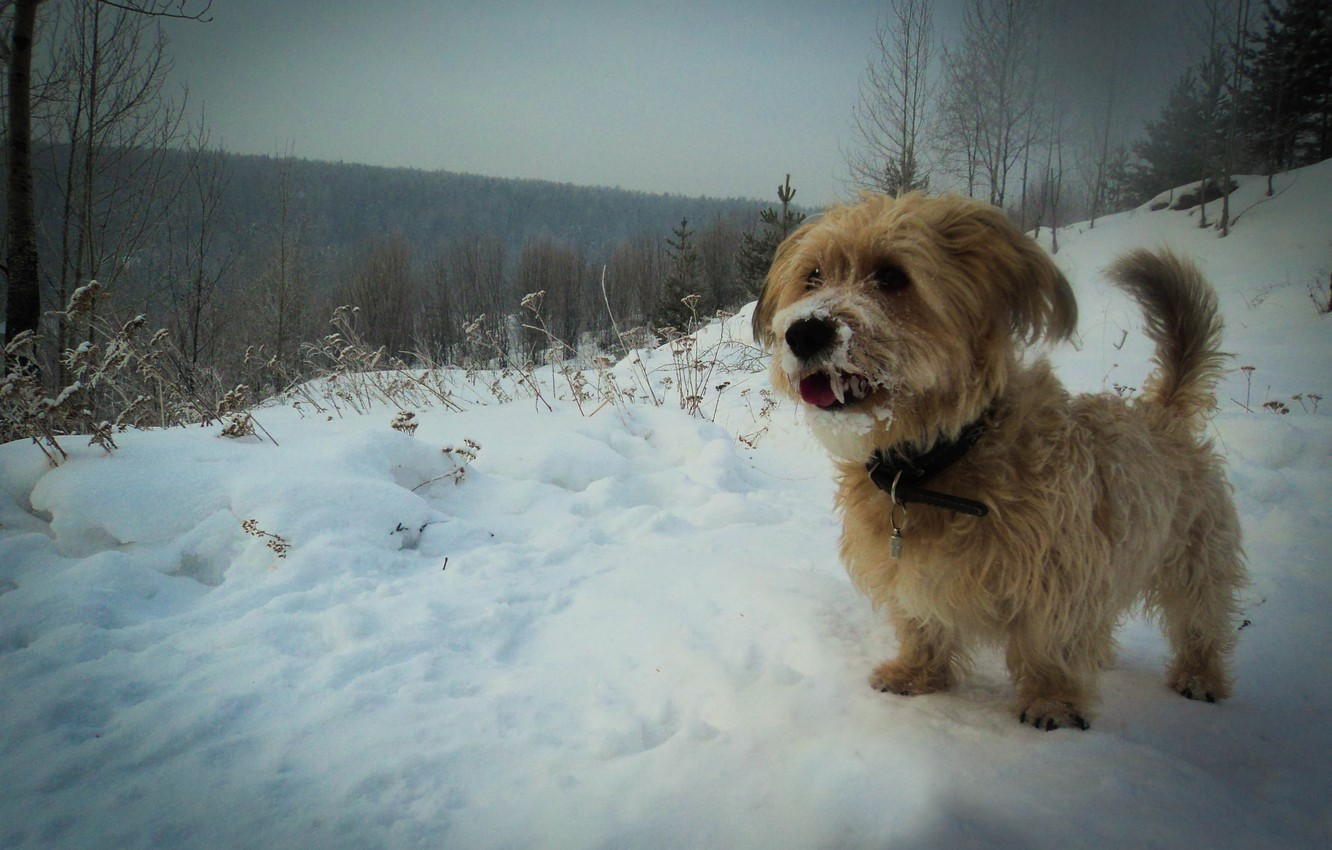 Photo wallpaper forest, snow, Winter, dog