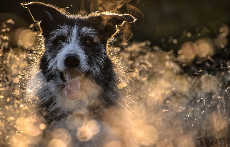 Photo wallpaper language, face, dog, bokeh