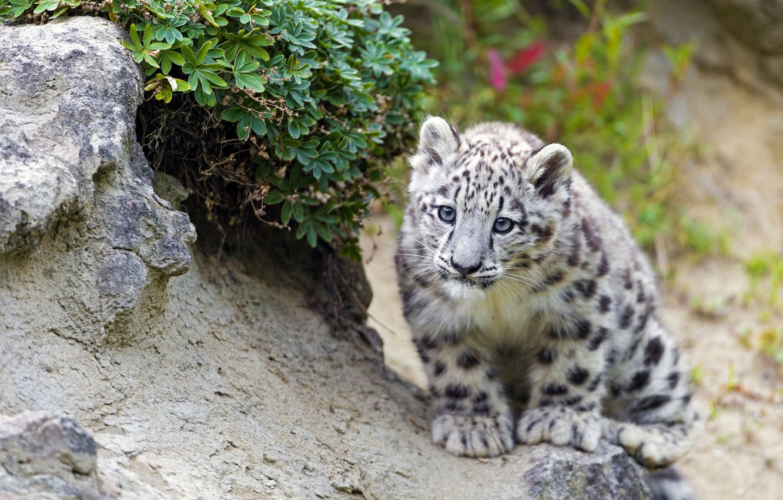 Photo wallpaper IRBIS, snow leopard, looks