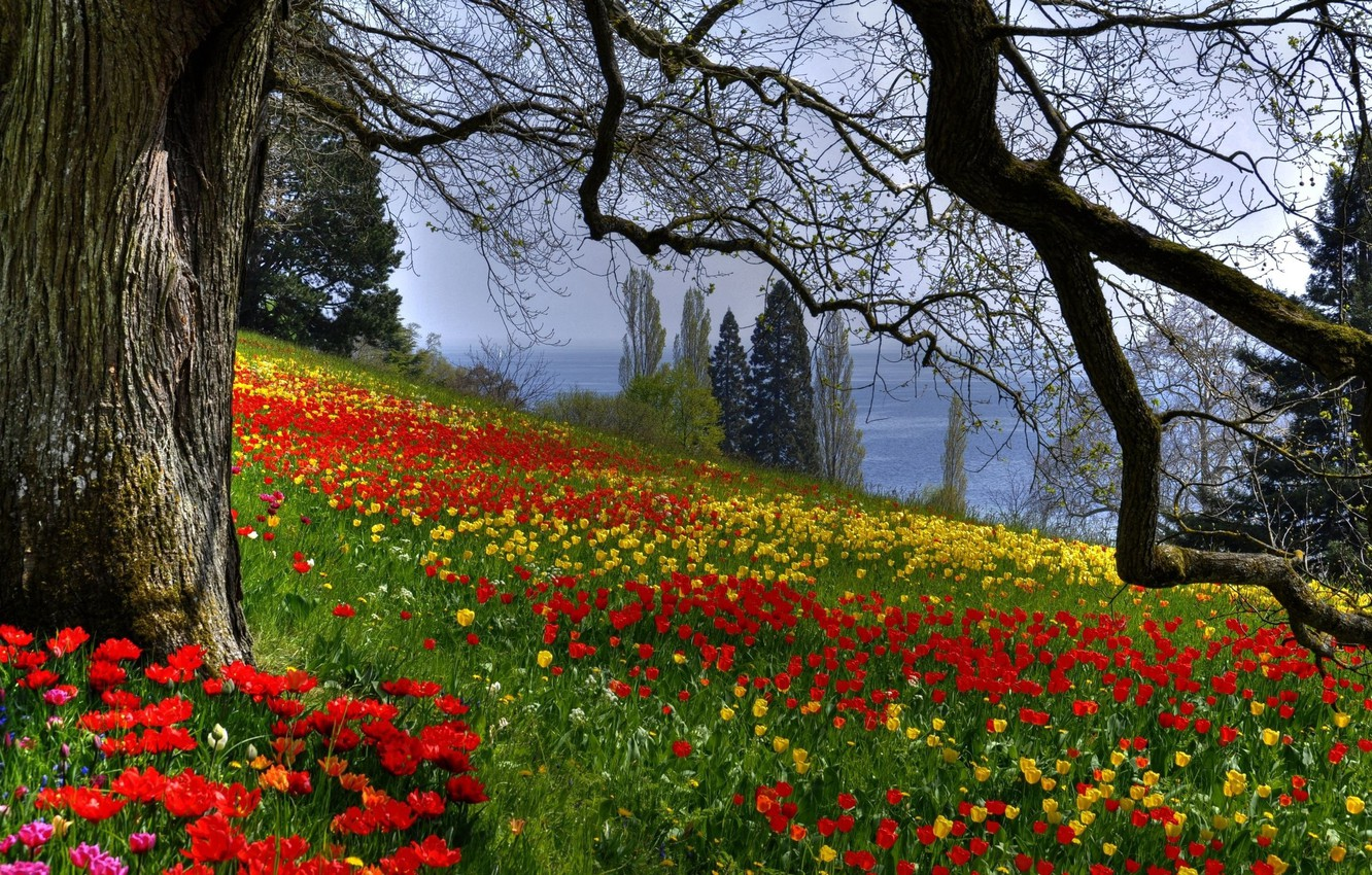 Photo wallpaper branches, nature, tree, Flowers, spring, tulips