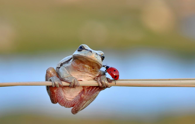 Photo wallpaper frog, freedom, kiss, ladybug, stalk, ladybird