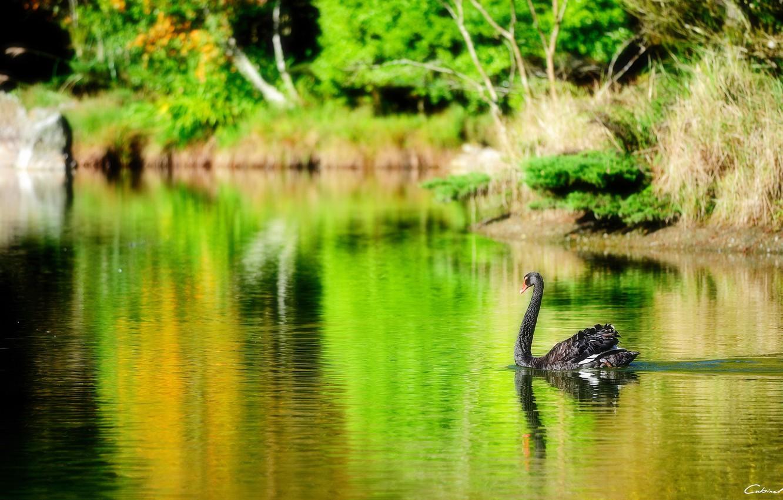 Photo wallpaper lake, pond, bird, black, Swan