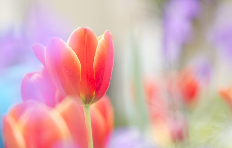 Photo wallpaper flower, red, bright, tenderness, Tulip, spring, blur, Bud, al