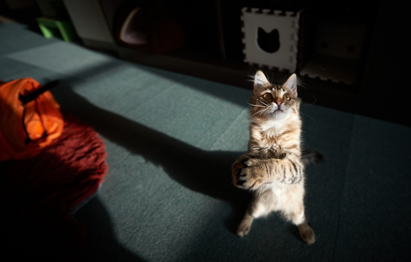 Photo wallpaper cat, cat, room, the game, paws, standing