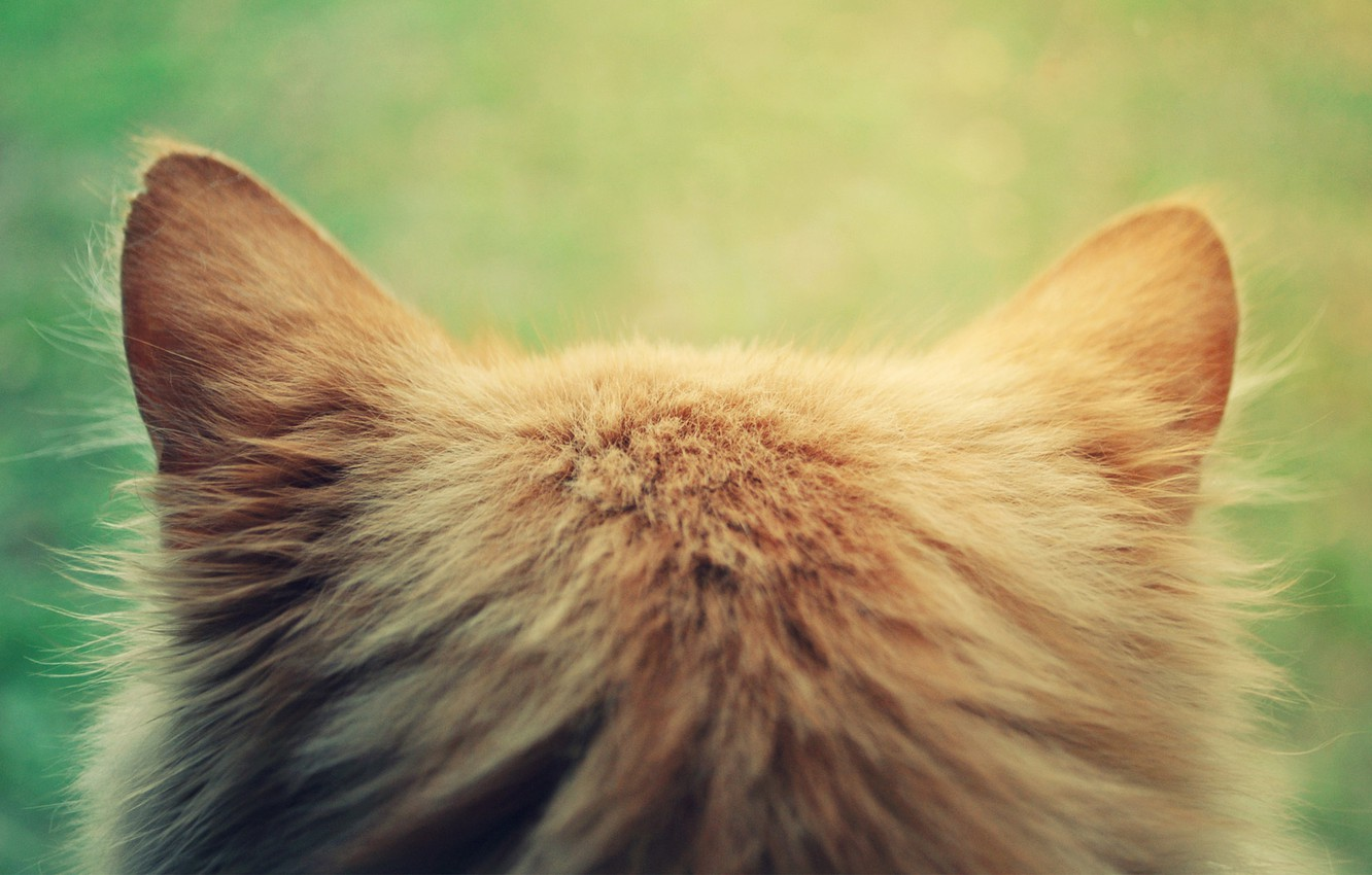 Photo wallpaper cat, cat, head, red, ears, Kote, the back of the head
