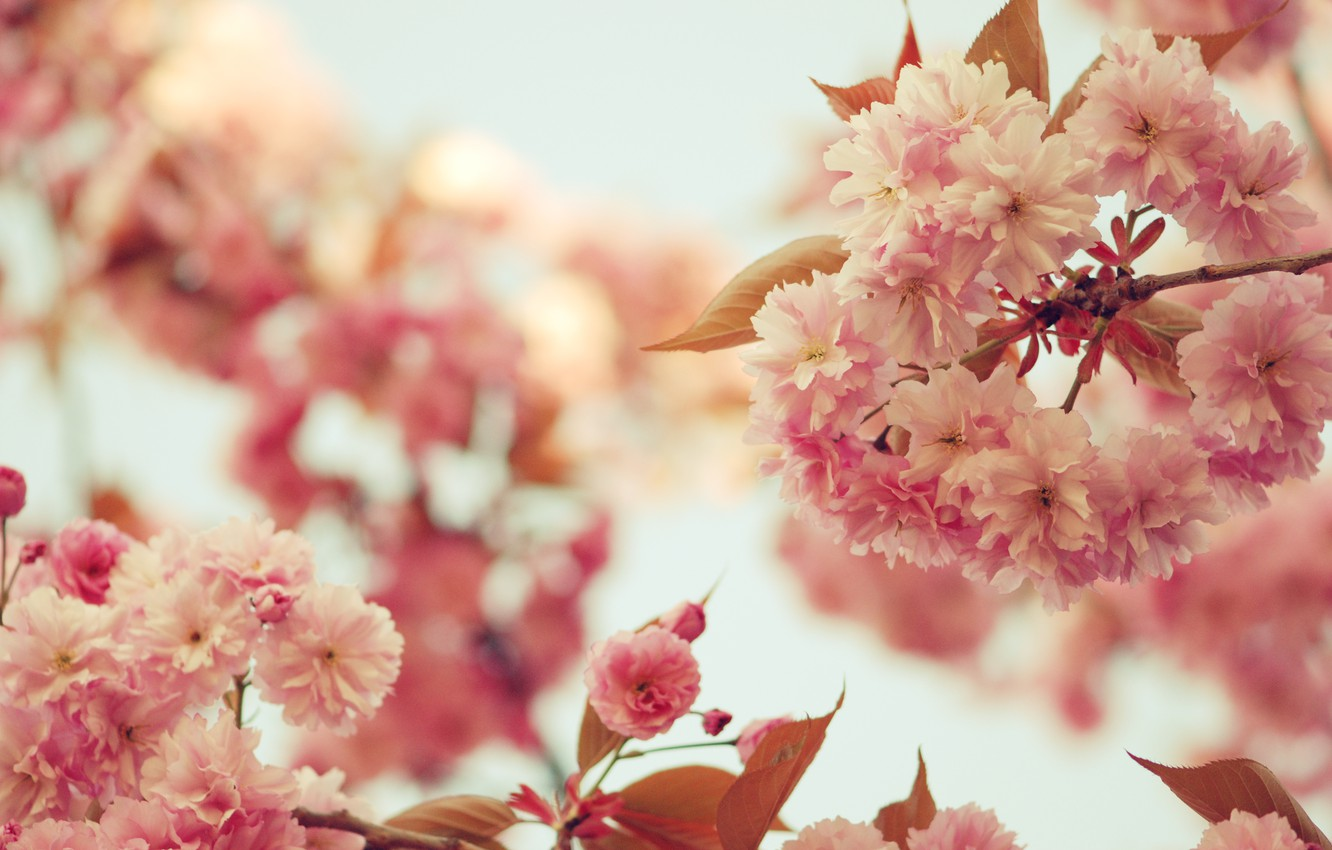 Photo wallpaper the sky, leaves, trees, flowers, branches, branch, color, spring, petals, Sakura, pink, flowering