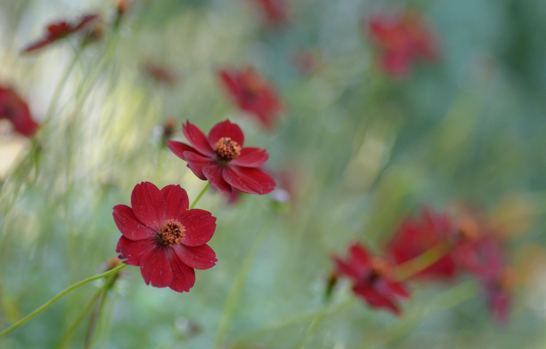 Photo wallpaper flowers, cosmos, chocolate cosmos, raspberry chocolate, botanical garden