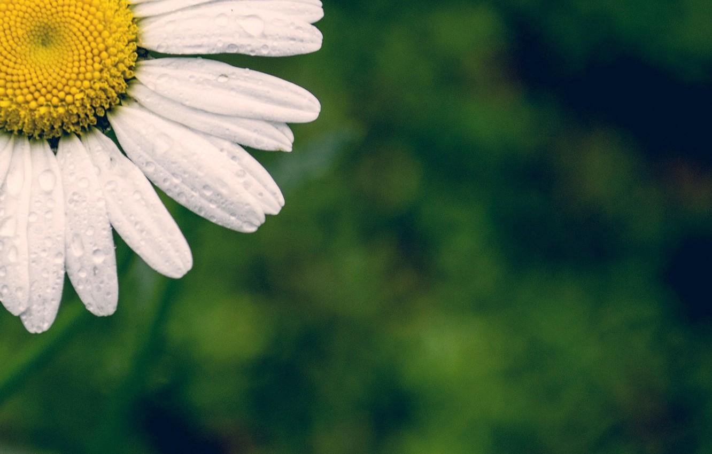Photo wallpaper white, flower, flowers, widescreen, Wallpaper, petals, Daisy, wallpaper, flower, green background, widescreen, background, full screen, …
