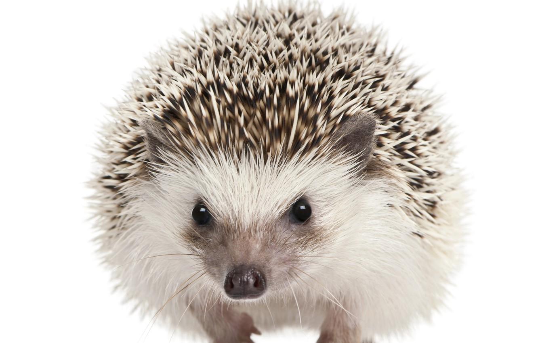 Photo wallpaper eyes, barb, muzzle, white background, hedgehog, mammals