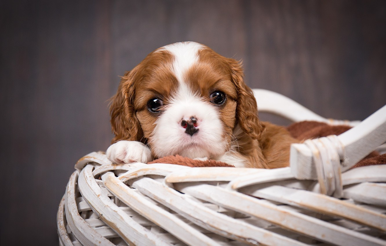Photo wallpaper basket, dog, puppy, The cavalier king Charles Spaniel