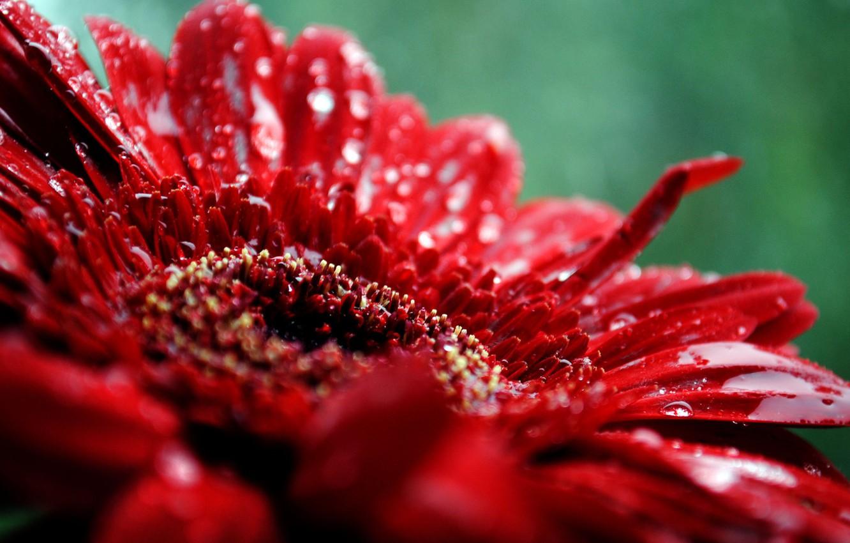 Photo wallpaper flower, drops, macro, red, plant, petals