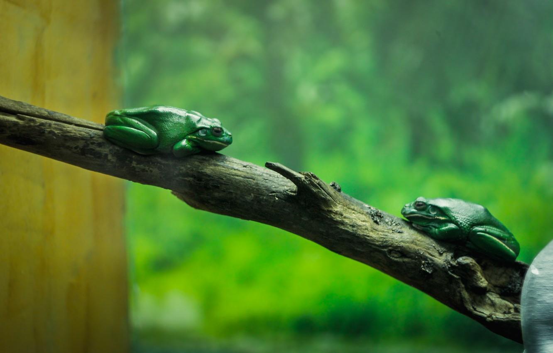 Photo wallpaper green, tree, aquarium, branch, toad, frog, zoo
