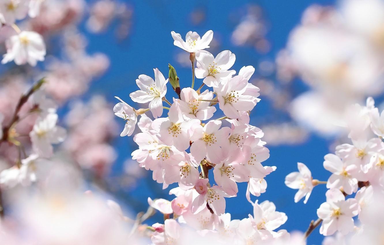 Photo wallpaper macro, cherry, branch, spring, Sakura, flowering, flowers