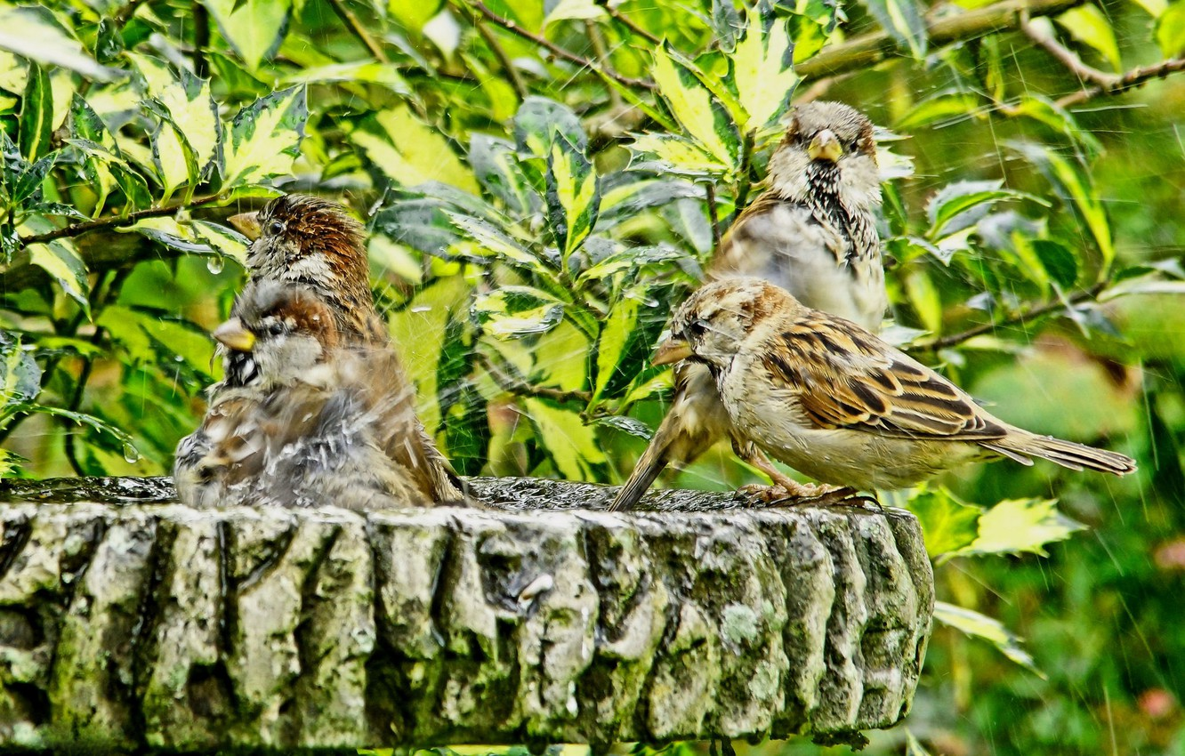 Photo wallpaper leaves, squirt, birds, branches, bathing, shower, sparrows, bath day