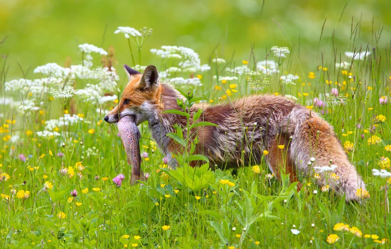 Photo wallpaper flowers, fish, meadow, Fox, mining, catch
