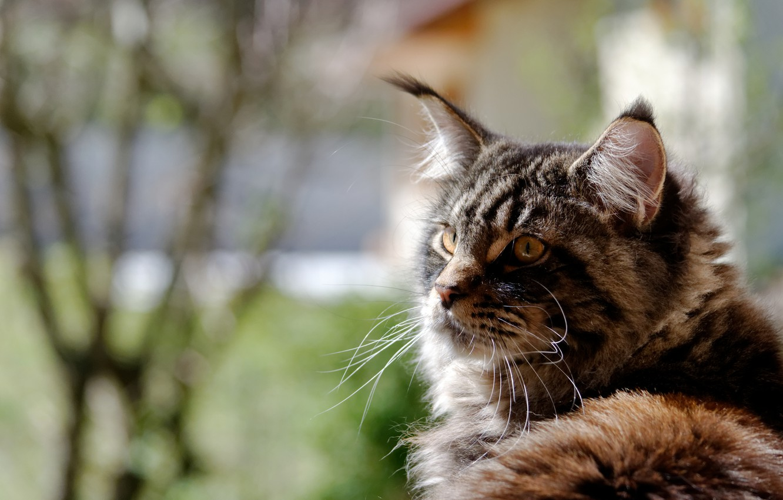 Photo wallpaper cat, cat, background, widescreen, Wallpaper, wallpaper, widescreen, cat, background, full screen, HD wallpapers, widescreen, fullscreen, …