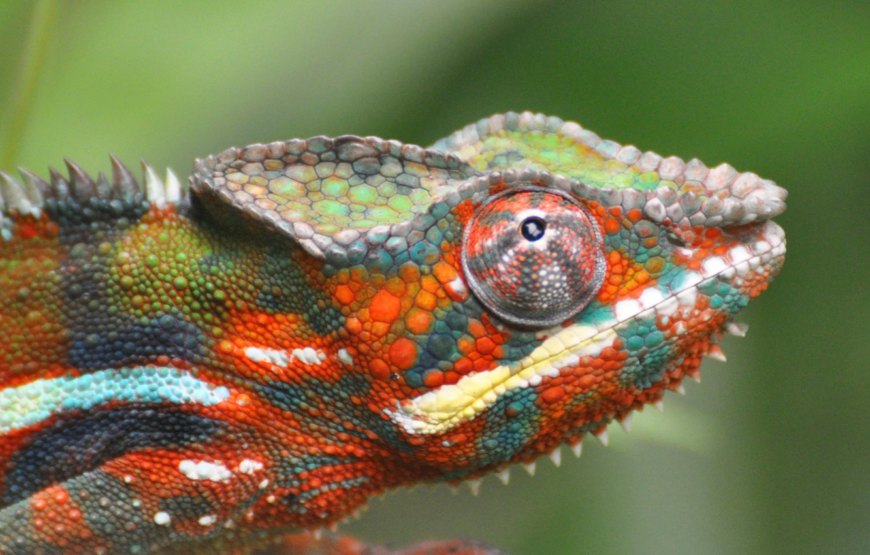Photo wallpaper chameleon, focus, lizard, color