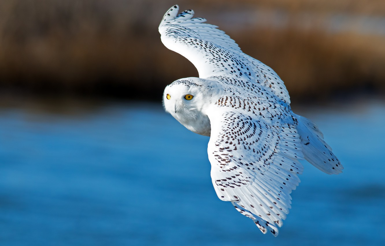 Photo wallpaper bird, wings, flight, snowy owl, white owl