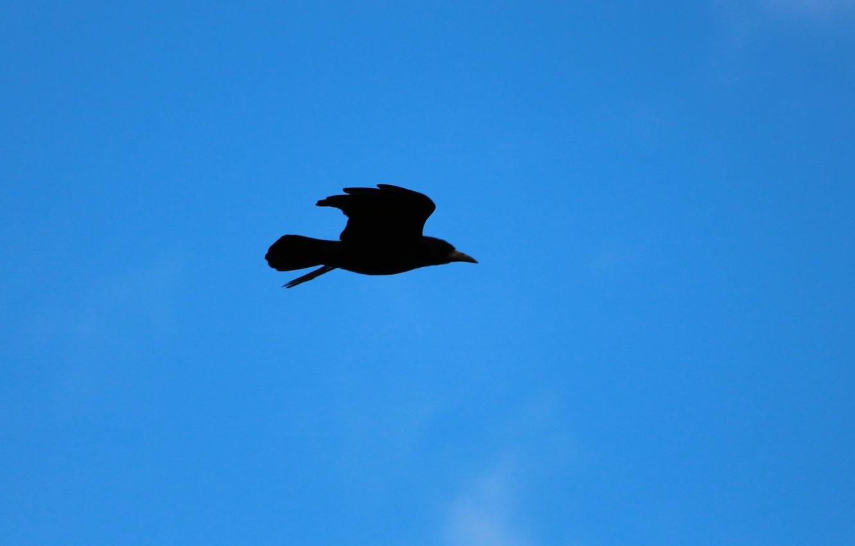Photo wallpaper sky, crow, flight
