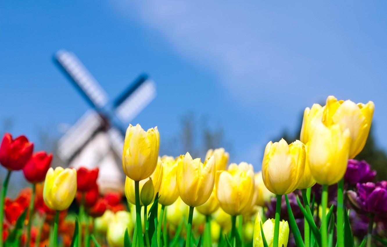 Photo wallpaper the sky, yellow, Tulips, mill