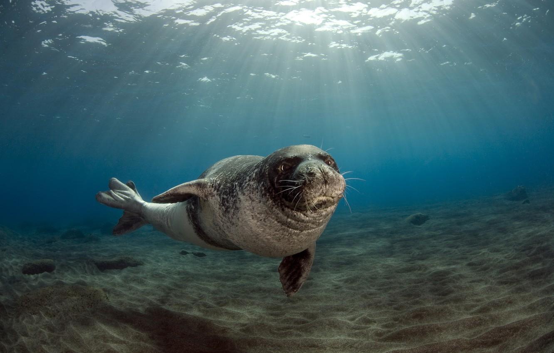 Photo wallpaper Portugal, male, Monk seal (Monachus monachus, the archipelago of Madeira (Madeira), July 26, 2009, Deserted …
