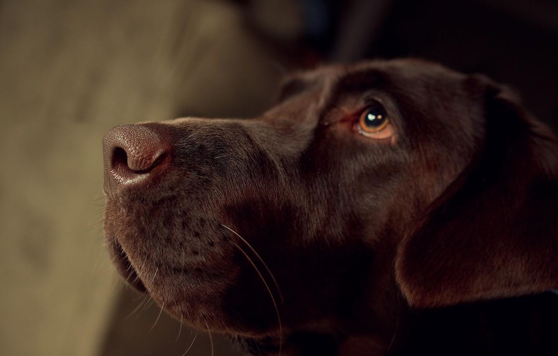 Photo wallpaper dog, nose, Labrador