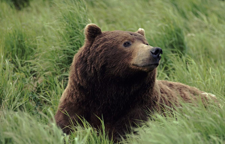 Photo wallpaper grass, Bear, the smell
