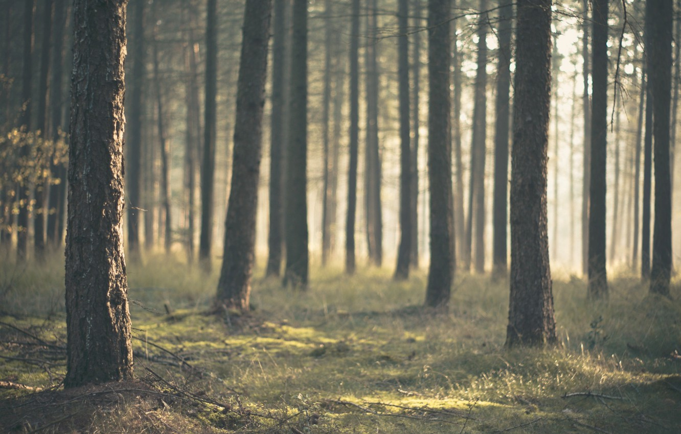Photo wallpaper forest, trees, nature, trunks, pine