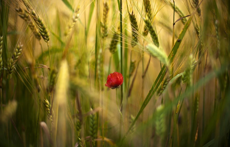 Photo wallpaper field, flower, flowers, red, one, Mac, Maki, spikelets