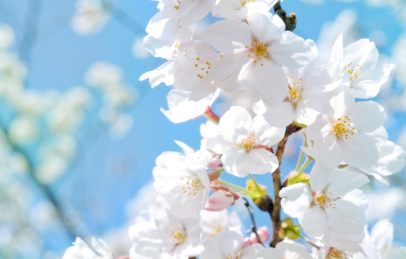Photo wallpaper the sun, macro, flowers, heat, spring, petals, Apple, spring pictures