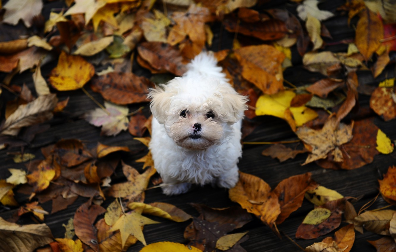 Photo wallpaper autumn, leaves, small, dog, shaggy, the puppy Maltese