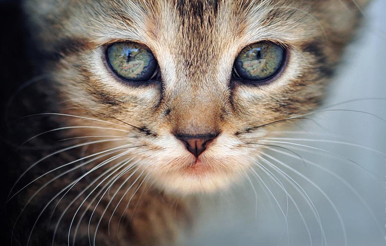 Photo wallpaper cat, cat, mustache, look, macro, kitty, animal, cat