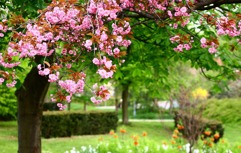 Photo wallpaper flowers, nature, Park, spring, pink, nature, park, Photo, pink flowers