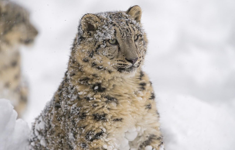 Photo wallpaper face, portrait, predator, IRBIS, snow leopard, wild cat, snow leopard