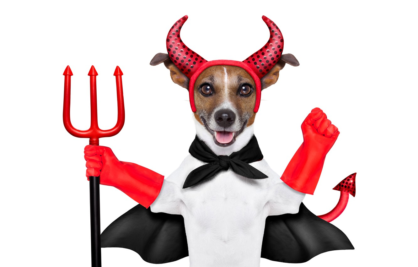 Photo wallpaper humor, Trident, tail, outfit, red, white background, horns, gloves, the devil, Cape, Jack Russell Terrier