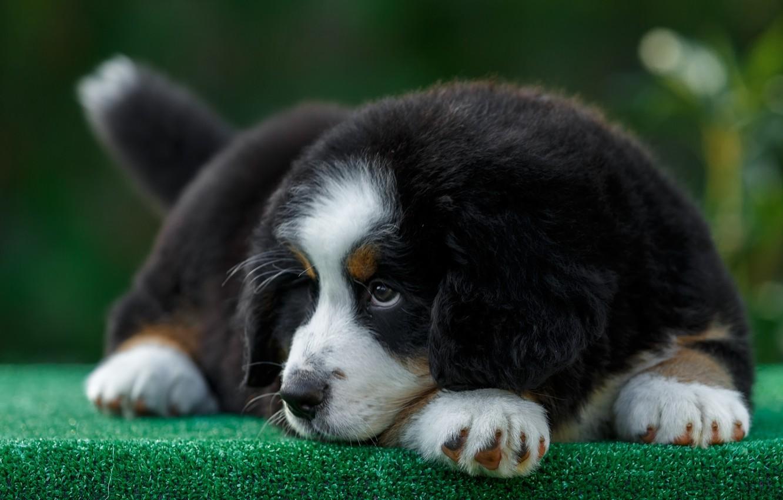 Photo wallpaper muzzle, puppy, mountain dog