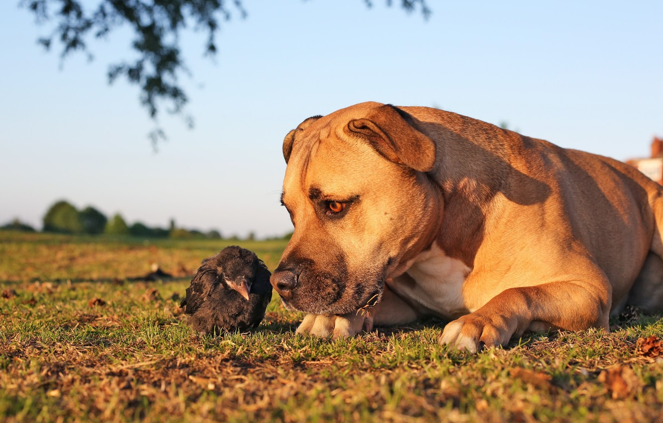 Photo wallpaper bird, dog, chick, familiarity, the crow