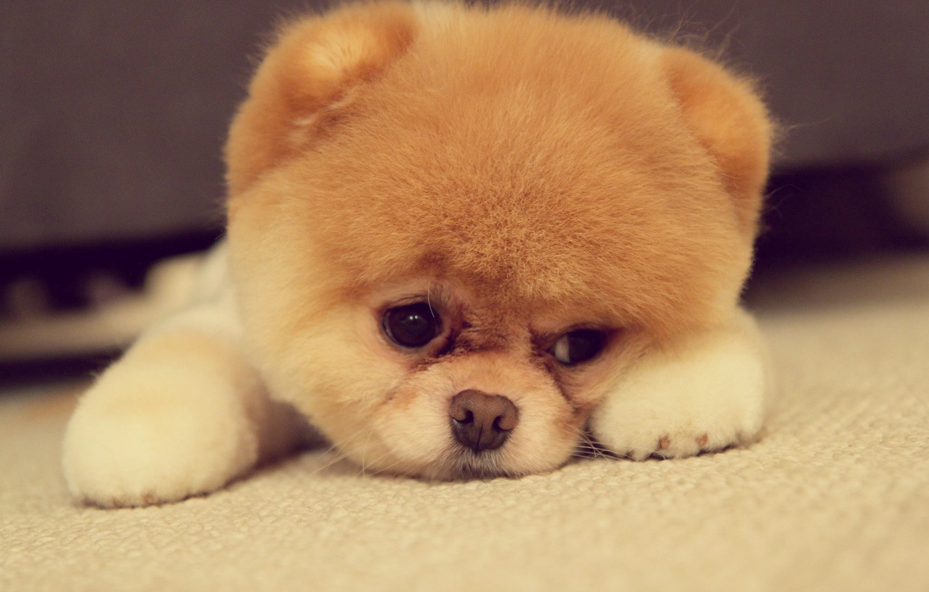Photo wallpaper eyes, face, dog, paws, nose, ears, breed, Pomeranian