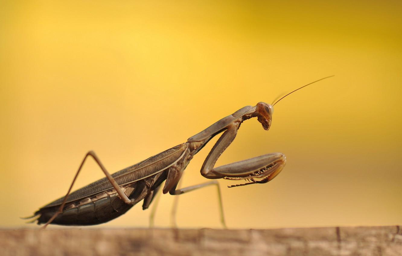 Photo wallpaper macro, beetle, Mantis
