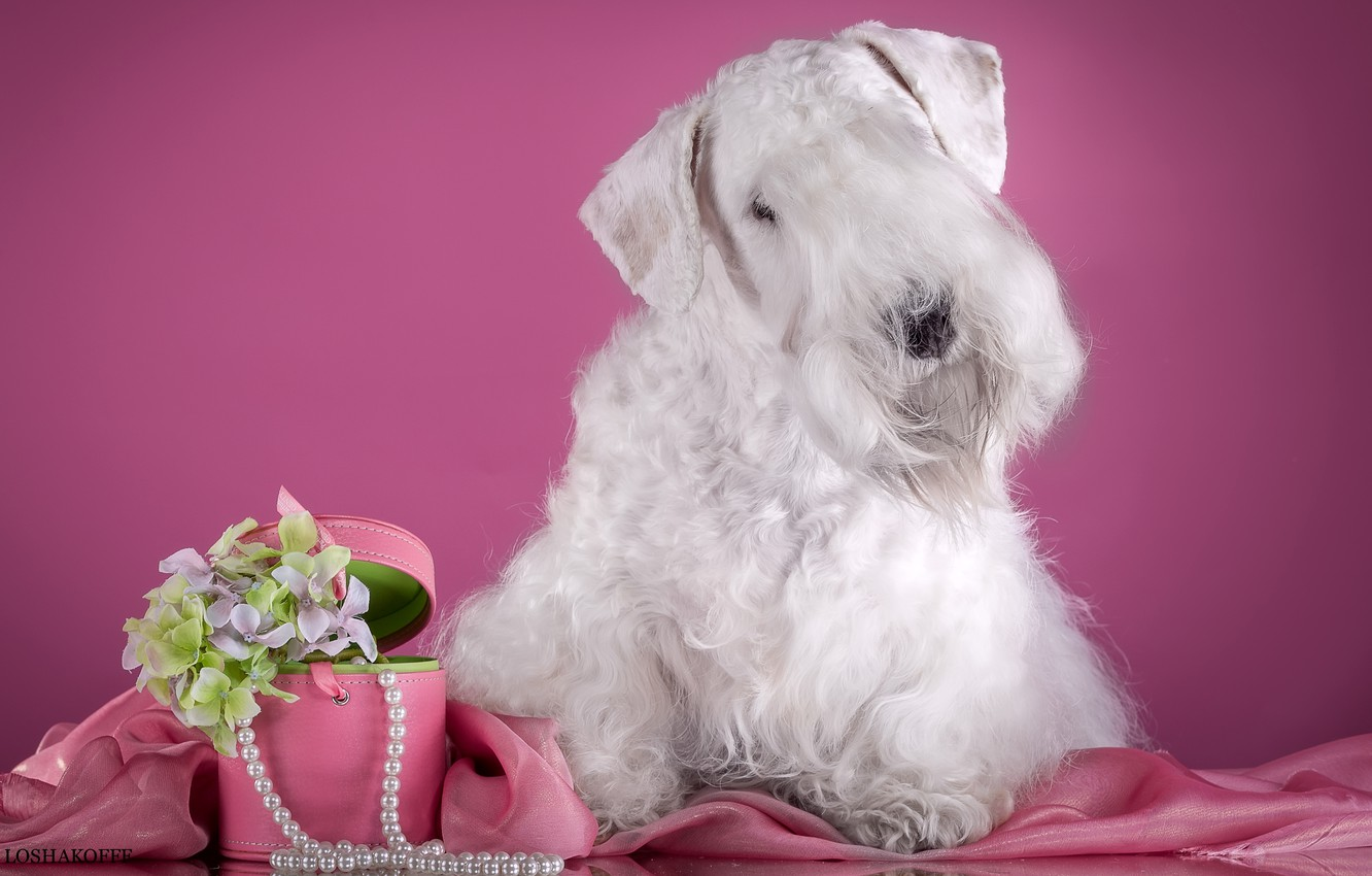 Photo wallpaper white, flowers, necklace, the Sealyham Terrier