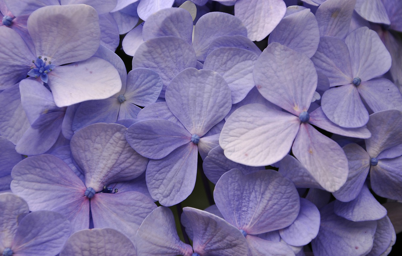 Photo wallpaper macro, petals, hydrangea